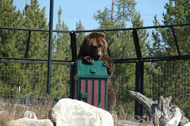 Bear trying to get into bear-proof trash can.